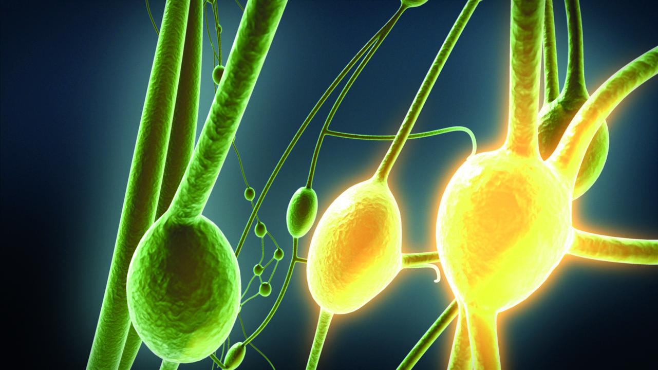 Lymphsystem & Immunsystem - Pascoe Naturmedizin