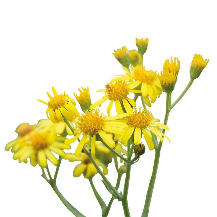 Goldenes Kreuzkraut [Pascofemin SL Tropfen]