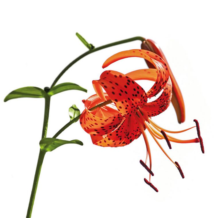 Tigerlilie [Pascofemin SL Tropfen]
