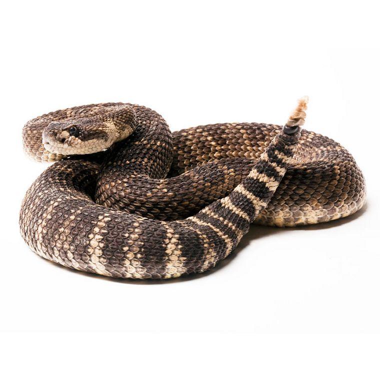 Gift der Klapperschlange