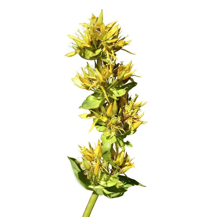 Gelber Enzian
